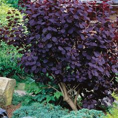 8 shrubs that provide reliable good looks without a lot of work // Great Gardens & Ideas // Purple Smoke Bush (Cotinus) Garden Shrubs, Diy Garden, Garden Trees, Dream Garden, Lawn And Garden, Garden Plants, Shade Garden, House Plants, Purple Garden