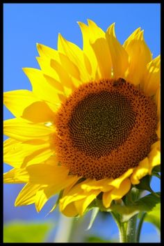 All 52 species of sunflowers are native to North America and belong to the genus Helianthus in the Asteraceae (Compositae) family