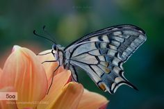 Papilio machaon by SilviaSpedicato. Please Like http://fb.me/go4photos and Follow @go4fotos Thank You. :-)