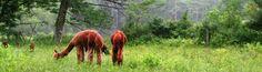 Green Alpaca Yurts NH