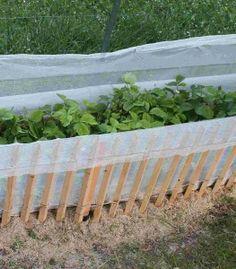 barrière anti limaces anti escargots pour les fraisiers et les fraises Parents à Parents