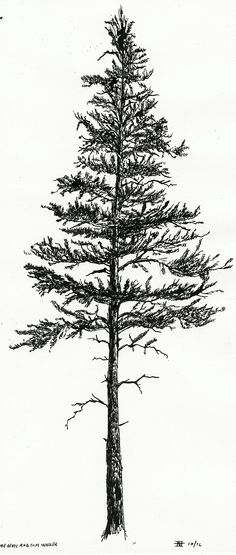 lodgepole pine silhouette - Google Search