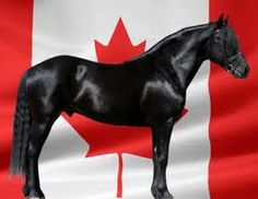 """The Canadian Horse  descended from Norman war horses that took knights into battle. The Canadian horse was numerous during the 19th century and on the verge of extinction in the 20th century. Thanks to breeders and aficionados the little horse of iron has made a comeback in the 21st century and Cavalia promotes our national horse with praise for its """"strength, willingness, curiosity and resistance to harsh climates."""""""