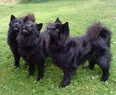 The Swedish Lapphund is a breed of dog of the Spitz type from Sweden,