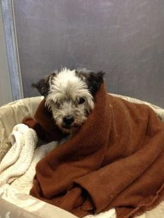 Adopt Dolly, a lovely female 17y 4m Schnauzer, Miniature available for adoption at Furever Friends, Madison,KS. ID#29600769