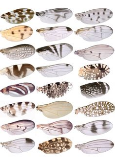 Large wing pattern variety seen in Drosophila fruit fly - similar to butterflies