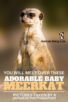 You Will Melt Over These Adorable Baby Meerkat Pictures Taken By A Japanese Photographer Inspirational Animal Quotes, Baby Meerkat, Japanese Animals, Camera Shy, Interesting Animals, Animal Facts, Find Pets, Diy Stuffed Animals, Dog Owners