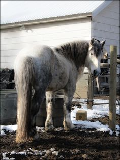 I just recently saw a  Percheron very similar to this one in the picture!!!! It is 17 hands high, 1,900 pounds, and 10 years old!!! They use the horse for jousting in a bunch of tournaments!!! So cool!!!!!!