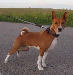 Basenji Puppy, Beautiful Dogs, Adorable Animals, Doggies, Boston Terrier, Corgi, Oc, Puppies, Dogs