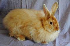 Eagle Ridge Farms- Satin Angora Rabbits For Sale!