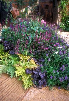 Garden mixed border bed with purple foliage Heuchera, Autumn Fern, purple flowers, mostly purple and pink color theme tones.