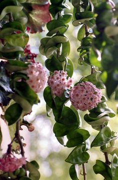 Hoya - also called wax plant. I got a cutting from my SIL and hopefully it will grow and bloom.