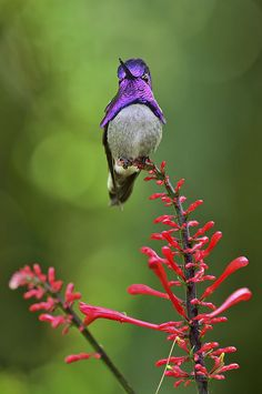 Costa's Hummingbird, Wings of the Tropics, Fairchild Tropical Botanic Garden. First Nikon D750 test images.