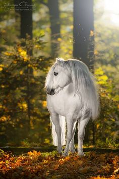 Beautiful white horse in the forest. Sunset shining through the trees. Welsh Pony Folkert  Mini  Zywiec Poland. Lovely horse photography.