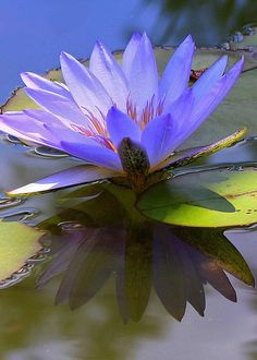 Beauty by Tamara Gibbs - water lily Pond Plants, Aquatic Plants, Water Plants, Water Garden, Lawn And Garden, Exotic Flowers, Beautiful Flowers, Lotus Azul, Lotus Flower Pictures