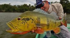 There are three species of peacock bass present on the Agua Boa: the butterfly, spotted and temensis. They are all great fish for the fly rodder. Saltwater Fishing, Kayak Fishing, Happy Fishing, Peacock Bass, Fish List, Types Of Fish, Deep Sea Fishing, Beautiful Fish, Red Fish