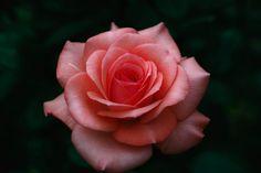 Beautiful Rose Flowers, Amazing Flowers, Acrylic Painting Flowers, Rose Tattoos, Flower Wallpaper, Dream Garden, Rose Buds, Great Artists, Flower Designs