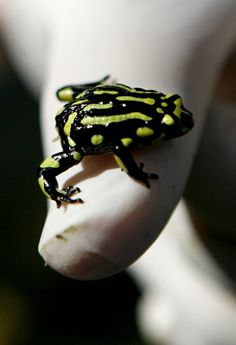 An Australian Corroboree Frog sits on a zoo keeper's thumb at Taronga Zoo in Sydney March 10, 2008