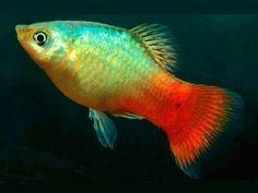 Betta Aquarium, Home Aquarium, Tropical Aquarium, Freshwater Aquarium Fish, Tropical Fish, Platy Fish, Istanbul Pictures, Fabric Fish, Aquatic Plants