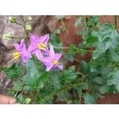 Solanum Trilobatum or Thoodhuvalai is an excellent home medicine for common cold and asthma.