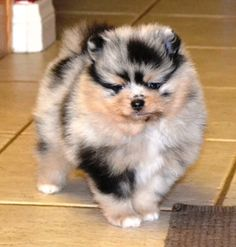 Marvelous Pomeranian Does Your Dog Measure Up and Does It Matter Characteristics. All About Pomeranian Does Your Dog Measure Up and Does It Matter Characteristics. Pomeranian Breeders, Blue Merle Pomeranian, Spitz Pomeranian, Cute Pomeranian, Pomsky, Pomeranians, Micro Teacup Pomeranian, Cute Puppies, Cute Dogs