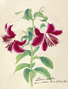 Orchid 1845 Flore Des Serres Lithograph Disciplined Van Houtte