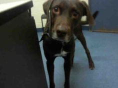 "Handsome chocolate lab ""CHIPPER"" needs a loving family! Can you help this sweet boy? WPHS Pittsburgh, Pa...PetHarbor.com: Animal Shelter adopt a pet; dogs, cats, puppies, kittens! Humane Society, SPCA. Lost & Found."