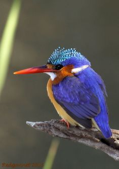 Malachite Kingfisher!
