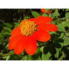 Mexican Sunflower (Tithonia rotundifolia) attracts numerous butterflies and hummingbirds Butterfly Plants, Butterflies, Powell Gardens, Mexican Sunflower, Sunflower Seeds, Lawn And Garden, Red Flowers, Botanical Gardens, Daisy