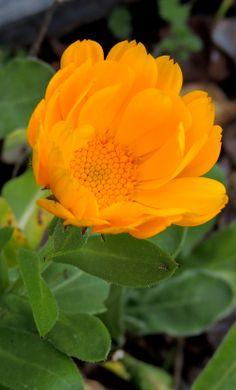 Calendula, Plants, Flowers