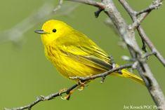 Types Of Birds | Yellow Warbler (Dendroica petechia). Photo courtesy Pennsylvania Game ...