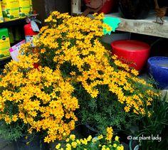 RAMBLINGS FROM A DESERT GARDEN....: California Nursery Visit Mt. Lemon Marigold (Tagetes lemonnii)