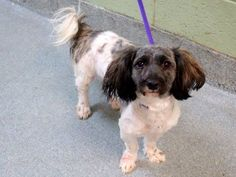 SAFE 11/23/14 Manhattan Center   My name is ASHLEY. My Animal ID # is A1021037. Pulled by Amsterdog Animal Rescue Please honor your pledges: http://amsterdog.org/donate/  Paypal: amsterdogdonations@gmail.com  I am a female black and white shih tzu mix. The shelter thinks I am about 2 YEARS   I came in the shelter as a OWNER SUR on 11/18/2014 from NY 10468, owner surrender reason stated was PERS PROB.  https://www.facebook.com/photo.php?fbid=909348449078035