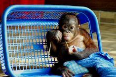 Orangutan at babies room, Samboja Lestari, BOS-F, East Kalimantan Borneo Orangutan, Baby Orangutan, Chimpanzee, Baby Animals, Cute Animals, Small Animals, Save The Orangutans, Cute Monkey, Little Monkeys