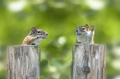 Two squirrels that look like debating politicians.....