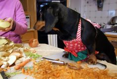 Helping the cook! http://www.celebritydachshund.com/2013/12/30/chef-crusoe-christmas-dinner-opening-presents/