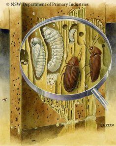 Illustration of Furniture beetle
