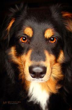 Australian Shepherd Dog<3<3<3