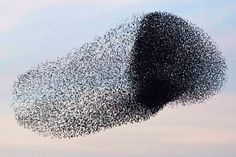 Murmuration of Starlings - a magnificent sight if you are lucky enough to see it