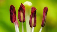 Fleur de lys Big Flowers, Beautiful Flowers, Perennial Plant, Fleur De Lis, Botany