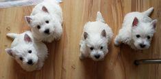 Westies, Westie Puppies, Baby Puppies, Baby Dogs, Cute Puppies, Doggies, West Terrier, West Highland Terrier, Terriers