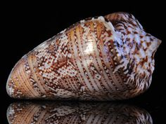 The Collector's Cabinet - FLORIDA - rare and seldom-seen shells from Florida, the Caribbean, Honduras & Curacao | Naked Conchology | Robert ...