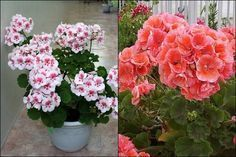 Ha szeretnél pompás muskátlikat, ezeket a praktikákat lesd el még most! Plants, Garden, Outdoor, Bonsai