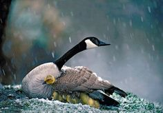 Canada Goose with chick in the snow