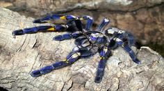 Gooty Tarantula - Endemic to southern India and Sri Lanka, civil unrest and deforestation have led to habitat loss.