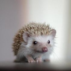 These female hedgehogs are solitary and might injure or worst, might kill their young when disturbed. It is highly essential to get rid of any cagemate and leave her and her young litter undisturbed for at least about 5 to 10 days after giving birth. Cute Creatures, Beautiful Creatures, Animals Beautiful, Happy Hedgehog, Cute Hedgehog, Hedgehog House, Cute Baby Animals, Animals And Pets, Funny Animals