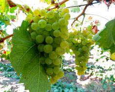 Torrontes, Silvaspoons Vineyards, Lodi AVA. Photography by Randy Caparoso. #Lodi #vineyard #wine