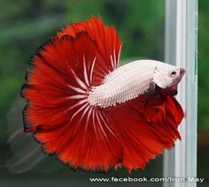 fwbettashm1446138851 - PLATINUM RED DRAGON Pretty Fish, Beautiful Fish, Colorful Fish, Tropical Fish, Betta Fish Types, Beta Fish, Siamese Fighting Fish, Animal Antics, Exotic Fish