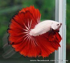 fwbettashm1446138851 - PLATINUM RED DRAGON