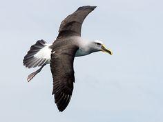 Buller's Albatross_(Thalassarche bulleri) by David Cook
